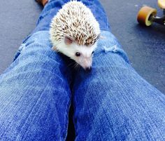 Cleaning up hedgie poop is no picnic! Litter training your hedgehog will make cleaning faster and more enjoyable