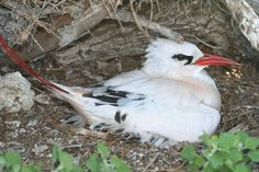 Red-tailed Tropicbird (Phaethon rubricauda) white with slender red and black tail feathers; red  bill; nests under bushes; young have feathers barred with black and a black bill.