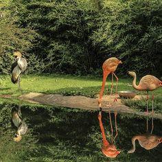 Reflect  #inlovewithswitzerland #photopedropetiz #swissalps #switzerland #swiss #zoo #servion #reflectiongram #reflections #reflex #flamingo #bird #green #rose #pink #zoológico #water #reflect #animals #animal #animals_gr #animals_happy #iloveanimals #animalsmood #ig_animalpics #ig_animalshots #ig_animalsworld #naturephotography #animalsco #photooftheday Flamingo Bird, Swiss Alps, Green Rose, Switzerland, Nature Photography, Photo And Video, Water, Happy, Pink