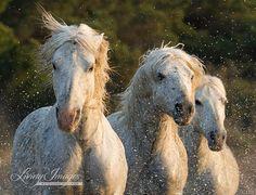 Three Camargue Horses with Attitude  Fine Art Photograph by Carol Walker www.LivingImagesCJW.com