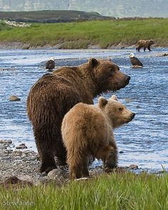 Coastal Brown Bears by mercorex, via deviantart.com