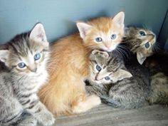 New Kitten Care - Ten Tips For Raising Your Kitten - http://www.cat-breed.org/new-kitten-care-ten-tips-for-raising-your-kitten/. #NewKittenCare, #NewKittenCareTips #cathealth