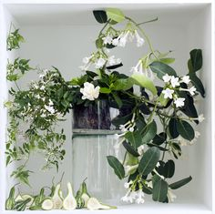Gardenia, Jasminum (jasmine) and Stephanotis all bloom with white spectacular flowers, and all have an irresistible fragrance.