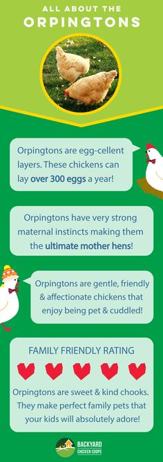 Orpingtons are an all round fantastic chicken breed. They are nurturing mother hens, kind natured and love human interaction. Read more about this magnificent breed here, http://www.backyardchickencoops.com.au/breed-profile-orpington/ #loveyourchickens #infographic #OrpingtonChickens