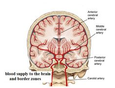 basal ganglia arterial supply - Google'da Ara