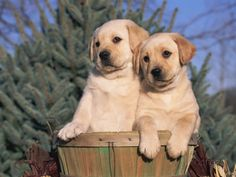 Golden Labrador Retriever Puppies, USA Photographic Print by Lynn M. Stone at AllPosters.com