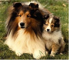 Sheltie... my ultimate favorite  You never forget your first puppy love :)