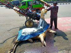 Sedang Sakit Tapi Dipaksa Narik Delman Kuda Mati di Dekat Kebun Raya Bogor  #BogorChannel