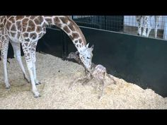 #Baby Giraffe Tries To Stand Up - #cute