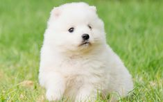 Download wallpapers Japanese Spitz, white puppy, small cute dog, pets