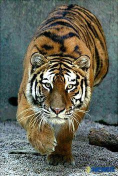 호랑이 - Google 검색