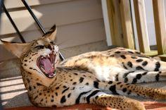 UPDATE: Unusual Savannah cat back home in Onslow County