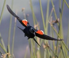 A male Red-wing Blackbird (Agelaius phoeniceus) flies into the marsh with colors blazing.  (via: National Audubon Soc.)        (photo: Teddy Llovet)