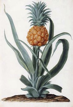 Pineapple Fruit (Ananas comosus) Unlike the banana, the natural history of the pineapple is fairly unknown. The pineapple is named after its pinecone-like shape and raw texture, and its genus (Ananas). Plant Illustration, Botanical Illustration, Botanical Drawings, Botanical Prints, Pineapple Planting, Pineapple Fruit, Collage Book, Merian, Atlas