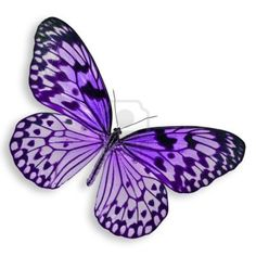 Purple Butterfly flying Isolated on white background.  Stock Photo - 15652174