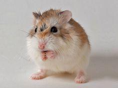 Lorax, dwarf hamster