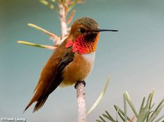 Image detail for -Hummingbirds - Jewels of the Bird World