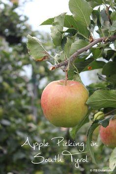 An Apple a Day – Apfelernte in Südtirol | ITB Globetrotter