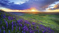 awesome lavender fild in the sunset wallpaper