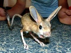 This is a long eared jerboa, looks like a cross between a rabbit, a kangaroo, and a mouse