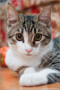 Fluffy cat breeds are some of the most popular, furry cats can be found in white, black, grey and even Siamese coloring. Love to cuddle soft,? Pretty Cats, Beautiful Cats, Animals Beautiful, Cute Animals, Gorgeous Gorgeous, Pretty Kitty, Cute Cats And Kittens, Cool Cats, Kittens Cutest