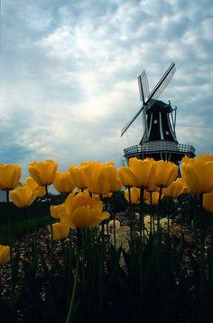 Tulips & Windmill - Holland Michigan