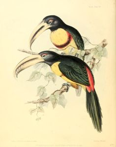 The zoology of the voyage of H.M.S. Sulphur : under the command of Captain Sir Edward Belcher, during the years 1836-42 / Vol 1, 1844, illustrations by John Gould
