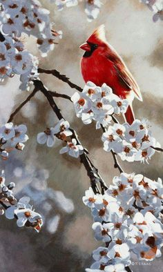 spring cardinal on white flowered branch