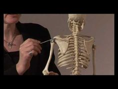 Muscle Actions, Origins and Insertions - Online Anatomy and Physiology Training - YouTube