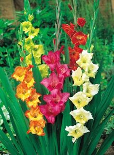 Gladioli...bought some bulbs for this spring...hope they make it!