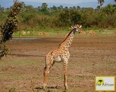 Sunny day in the wilderness! Most Visited, Holiday Destinations, Holiday Travel, Sunny Days, Wilderness, South Africa, Giraffe, Safari, Tourism