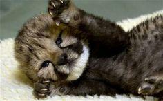 Adorable Cheetah cub♥︎