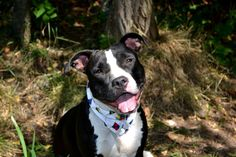 Staten Island Center   WENDY - A1010346  FEMALE, BLACK / WHITE, STAFFORDSHIRE MIX, 1 yr STRAY - STRAY WAIT, NO HOLD Reason STRAY  Intake condition EXAM REQ Intake Date 08/13/2014, From NY 10304, DueOut Date 08/16/2014, Medical Behavior Evaluation GREEN  https://www.facebook.com/Urgentdeathrowdogs/photos/a.617941078218775.1073741869.152876678058553/854896424523238/?type=3&theater