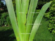 Grow Iris | Iris Care Tips on Growing & Maintaining Bearded Iris