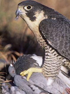 Peregrine Falcon (Falco Peregrinus) Eating a Rock Dove or Domestic Pigeon (Columba Livia)