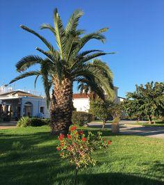 Amazing tree in Corfu. #treeoftheday #treestagram #trees #tree #greekplants #greece #greek #corfu #korfu #treeporn #tree_captures #tree_magic #treelovers #lobotany #urbangardenersrepublic #grass #sky