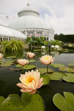 Nymphaea flowers with the Conservatory in the background.