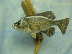 Black Crappie wall mount - Fur, Feathers & Fins Taxidermy