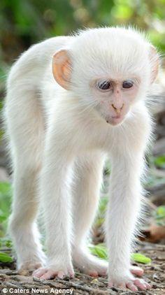 albino/leucistic monkey