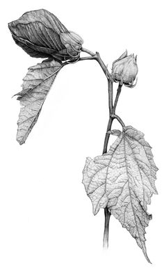Hibiscus Botanical Illustration This is an archival print from my original graphite drawing. Printed on Hahnemuhle Fine Art paper using Leaf Drawing, Plant Drawing, Painting & Drawing, Drawing Artist, Illustration Botanique, Plant Illustration, Botanical Drawings, Botanical Prints, Graphite Drawings