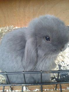 Bella my blue eyed bunny! Cute Baby Bunnies, Funny Bunnies, Lop Bunnies, Rabbit Pictures, Funny Animal Pictures, Animals And Pets, Baby Animals, Cute Animals, Little Bunny Foo Foo