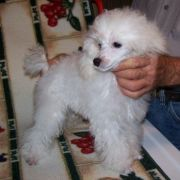 White Silver Akc Certified Toy Poodle Puppies For Sale In Nj Ny Darcon Toy Poodles Toy Poodle Poodle Puppies For Sale Poodle Puppy