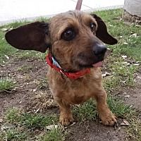 New York Ny Dachshund Meet Pookie A Pet For Adoption Dachshund Adoption Pet Adoption Dog Rocks