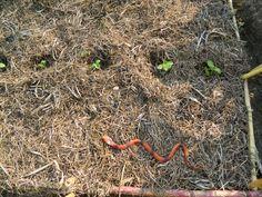 Aquí tenemos a nuestra serpiente de goma, vigilando el huerto, xDDDDD.