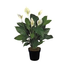 Una Casa Sana: {Plantas Purificadoras} 1: ESPATIFILO (Spathiphyllum Wallasii)