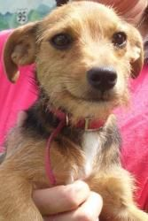 Foxie is an adoptable Terrier Dog at Mt. Pleasant Animal Shelter in East Hanover, NJ. Foxie is a cute little terrier that is approximately 11 months old as of 10/12. For more information, contact us at 973-386-0590.