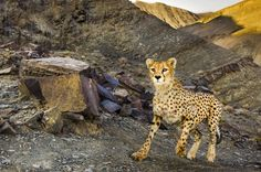 Asiatic Cheetah, Battle Bears, Frans Lanting, National Geographic Travel, Most Beautiful Animals, Cheetahs, Wildlife Conservation, Nature Reserve, Photo Contest
