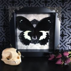 Handcrafted, Victorian style taxidermy shadow box.   In a 6 x 6 black shadow box adorned with silver filigree feat. a Papilio Gambrisius Butterfly displayed in an ornate resin frame on a beautiful Victorian rose background.   **** does not include prop flowers or domestic cat skull. ****  Each piece is made with love & care to best showcase each individual specimen. All of our specimens are ethically sourced and have died of natural causes.   YOU ARE RESPONSIBLE FOR KNOWING YOUR COUNTRYS ...