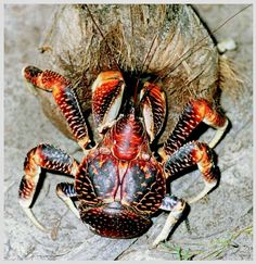 """Coconut Crab: These crabs are found in the tropical Indian and  Pacific Oceans. Even though they are named """"Coconut"""" Crab, they do not eat coconuts that often. ~ [Wikipedia]"""