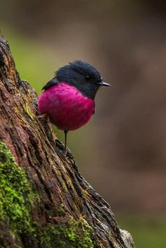 Pink-breasted Robin